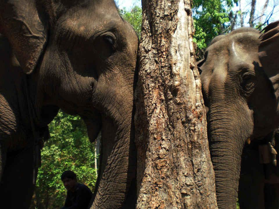Verbazingwekkend 14 Tage Elefanten Führerschein Tour: Weltweit einmalig in Thailand! YA-04
