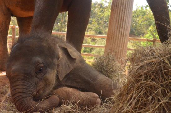 Elefanten Baby Kalb Thailand Heu