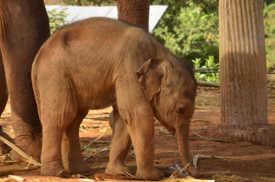 Elephant Special Tours - Elephant Baby - 1 month old - 3