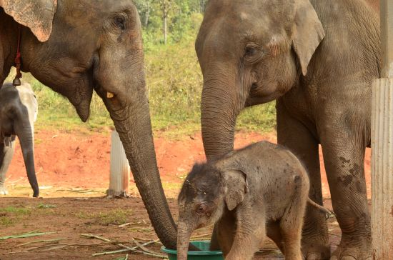 Elephant Special Tours - Elephant Baby - 1 week old - 1