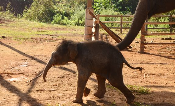 Elephant Special Tours - Elephant Baby - 2 weeks old - 2