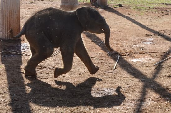 Elephant Special Tours - Elephant Baby - 2 weeks old - 3