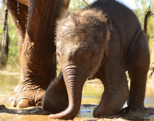 Elephant Special Tours - Elephant Baby - 3 weeks old - 1
