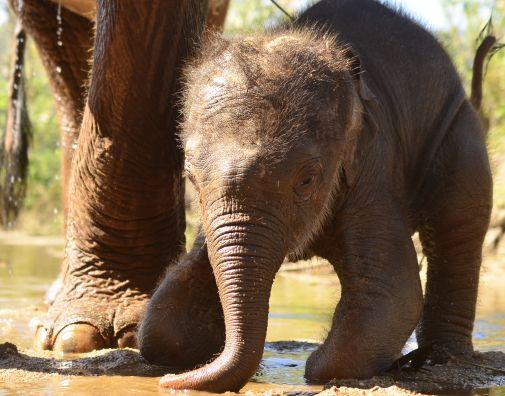 Elefanten Baby Thailand Schlamm spielen